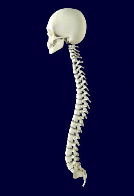 頭蓋骨と背骨の模型