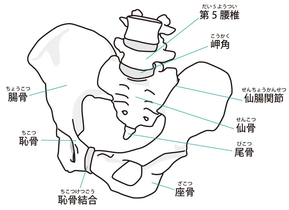 骨盤のイラスト